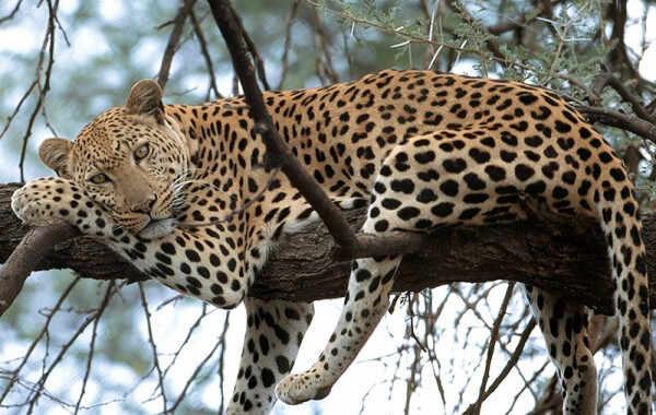 dalekoistočni leopard