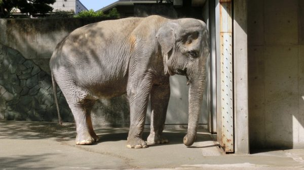 slon Hanako